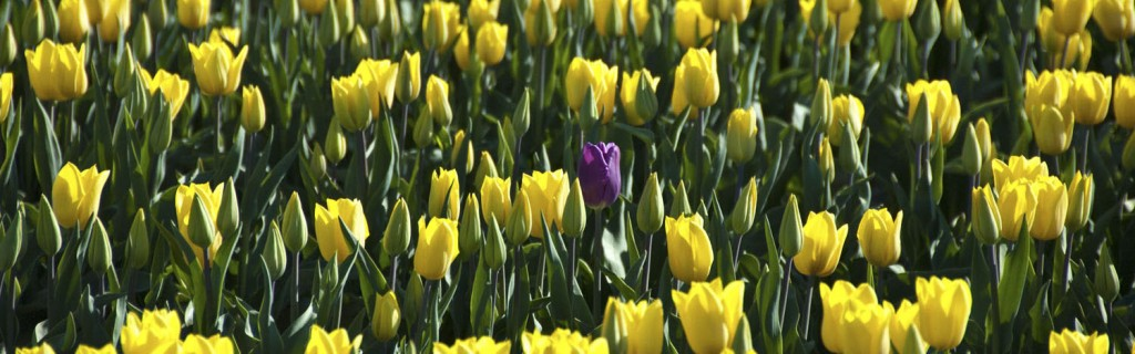 A Stray Purple in a Sea of Yellow.